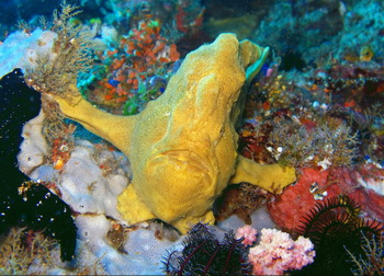 Frogfish - © TomTom
