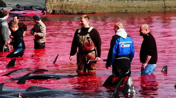 After the cruel slaughter: fishermen in a sea of blood