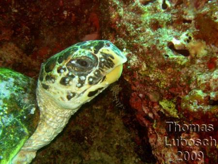 Dhoni Kolhu (Coco Palm),Dive Ocean,Malediven