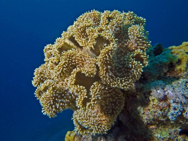 SUBEX Hausriff Middle Garden Sharm El Sheikh Hyatt Regency, Korallen, Ägypten, Sinai-Süd bis Nabq