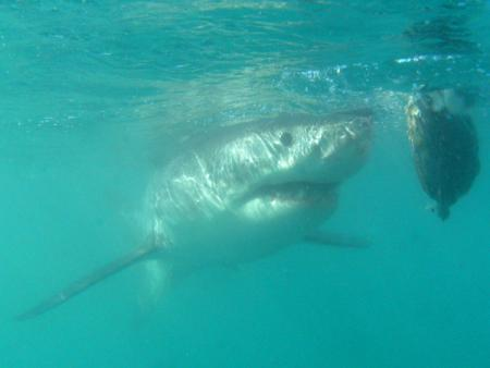 African Shark Eco Charters,Südafrika