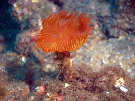 S/C Sea Anemone,Clownfish Diving,Frankreich