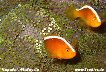 Lankayan, Kapalai, Sipadan, Mabul, Sipadan/Mabul,Malaysia