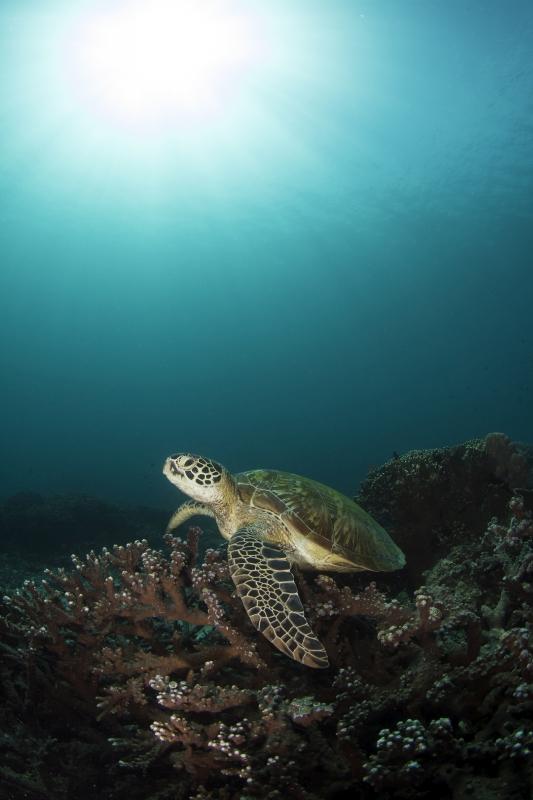 Suppenschildkröte, Uber Scuba Komodo Dive Center, Indonesien, Allgemein