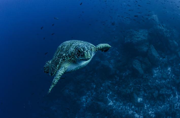 Grüne Meeresschildkröte schwimmt direkt auf die Kamera und Taucher zu