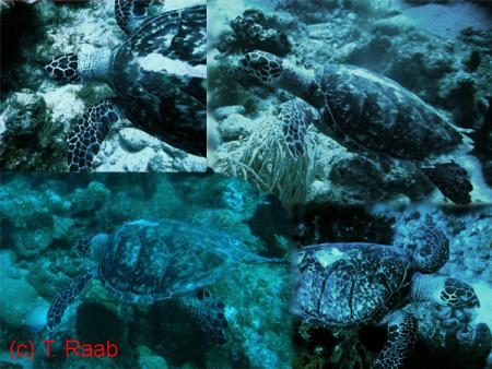 Les Baillantes Tortues,Guadeloupe