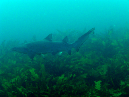 Magic Point - Maroubra - Shark Dive,Australien