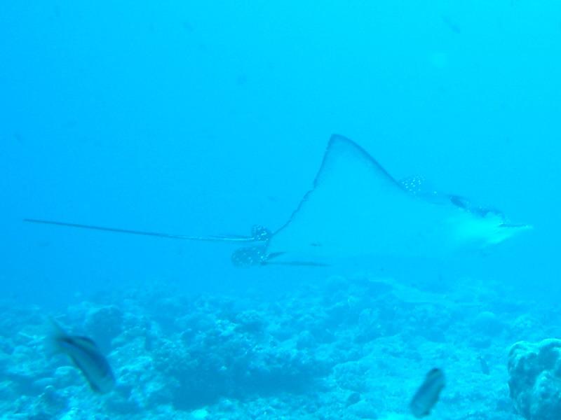 Blue Corner und German Channel, Blue Corner,Palau