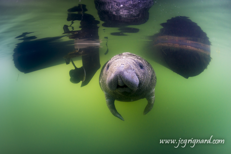 Under the Boat, Manatees Kings Spring, Bird`s Underwater Dive Center, Crystal River, USA, Florida