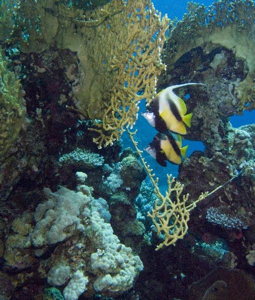 Hausriff Carnelia Beach    Diving.de, Maheleg Riff,El Quseir,Ägypten