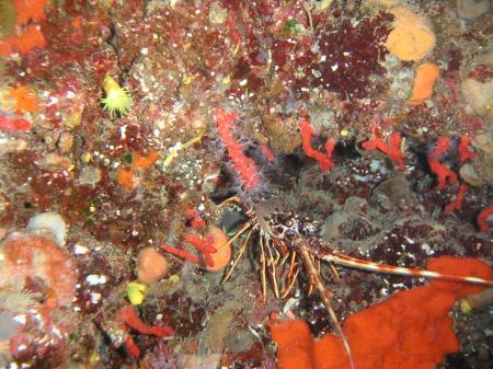 Coraline interna oder auch Capo di Fonza,Elba,Italien