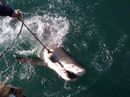 Brian McFarlanes Great White Shark Cage Diving,Gansbaai,Südafrika