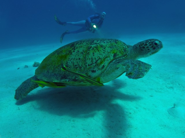 Schildkröte am SUBEX Hausriff Hyatt Regency Sharm El Sheikh Middle Garden