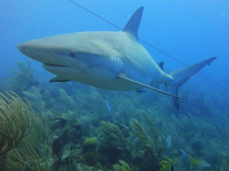 Karibische Riffhaie - Caribbeans, Jardines de la Reina,Kuba