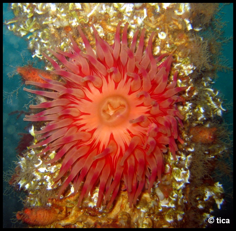 Diverse Nordnorwegen, Mittelnorwegen,Norwegen,anemone,rot,orange