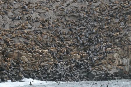 Seelöwentauchen,Palomino Insel,Peru