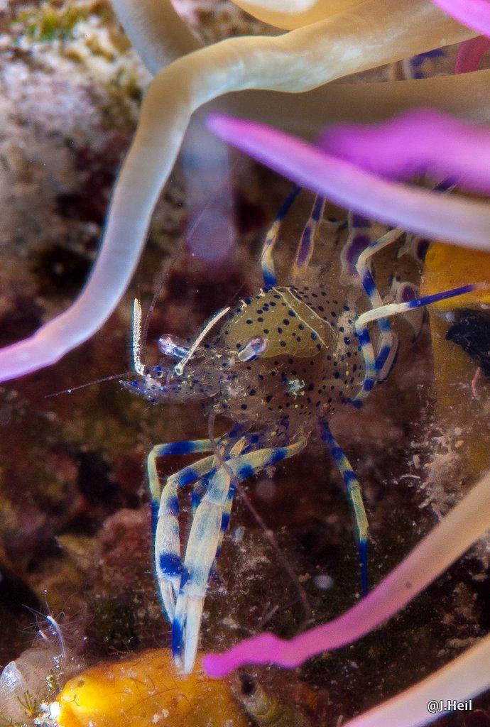 Blauweiße Partnergarnele Periclimenes sagittifer, Krk Kornic,Kroatien