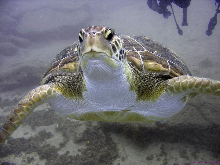 Playa Paraiso Teneriffa Barakuda Club, Playa Paraiso Teneriffa,Spanien,Meeresschildkröten
