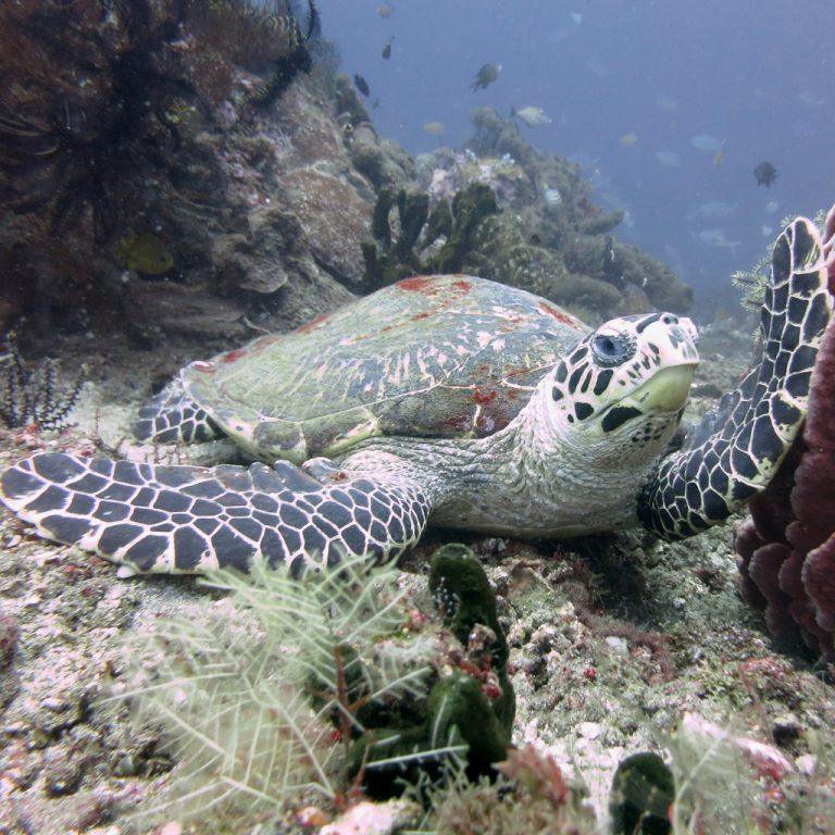 Hawksbill Turtle, Bali Bubbles Divecenter, Candi Dasa, Indonesien, Bali