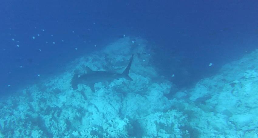 Bogenstirn-Hammerhai, Extra Divers Christmas Island, Australien
