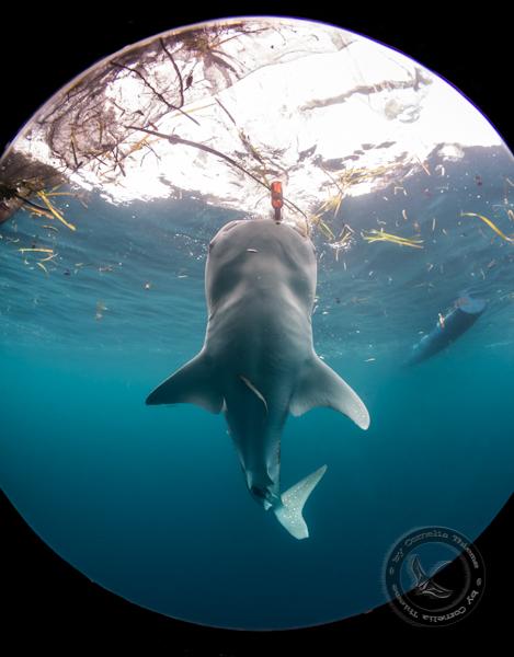 Walhaie und mehr...., Cendrawasih Bay,Indonesien,Walhai