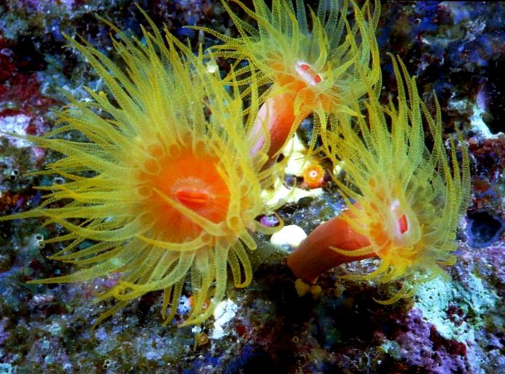 Elphinstone Reef, Elphinstone Reef (Marsa Alam),Ägypten,Anemonen