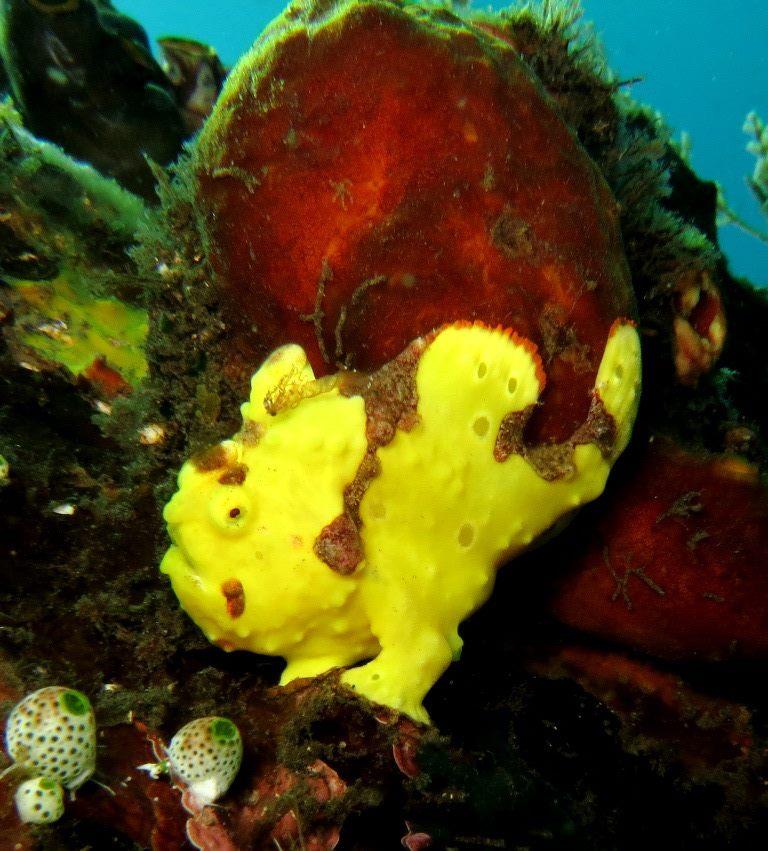 Anglerfisch, Anglerfisch, Krötenfisch, Bali, Tauchen, Amed Scuba Tauchzentrum, Amed - Tulamben, Indonesien
