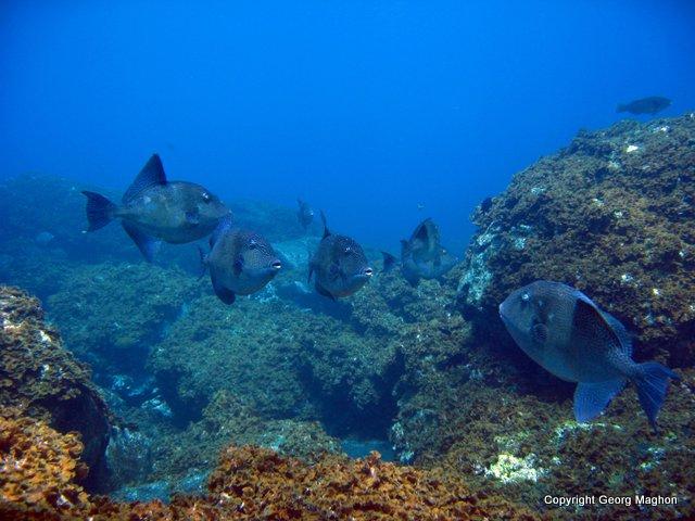 Hausriff Tauchpartner, Puerto Naos, Spanien, Kanarische Inseln