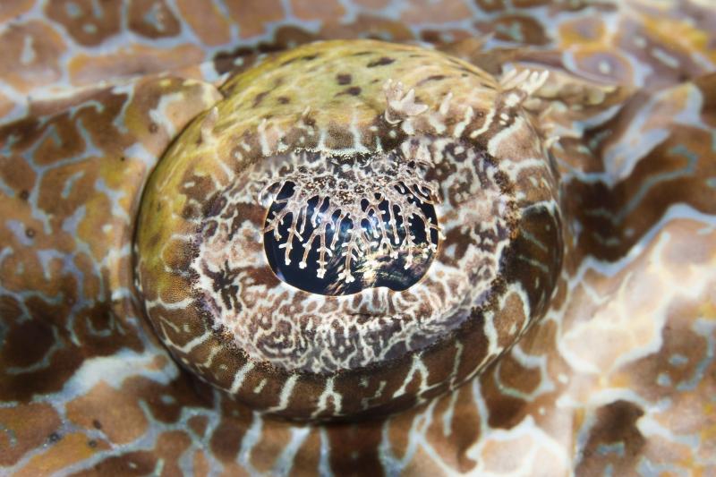 Krokodilfisch, Uber Scuba Komodo Dive Center, Indonesien, Allgemein