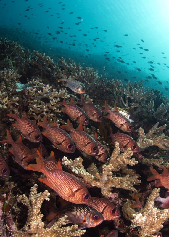 Soldatenfische, Uber Scuba Komodo Dive Center, Indonesien, Allgemein