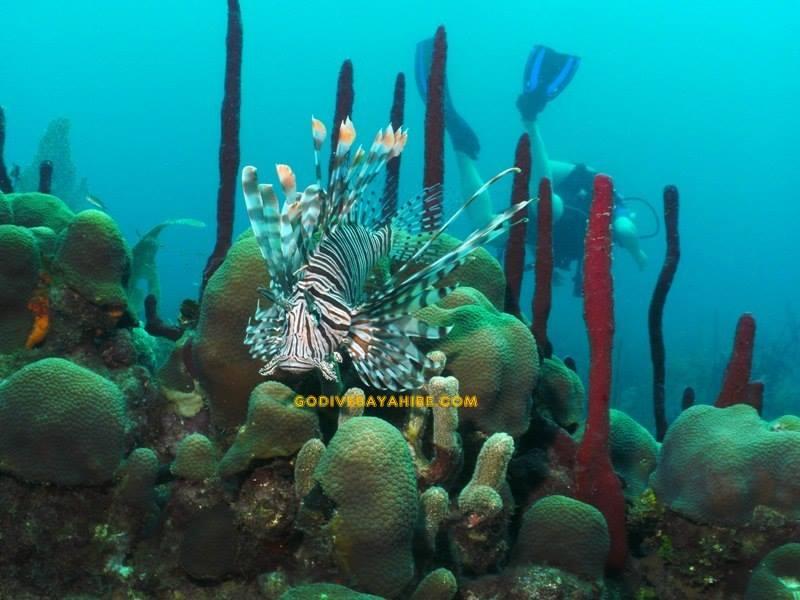 Feuerfisch, GO DIVE Bayahibe, Dominikanische Republik