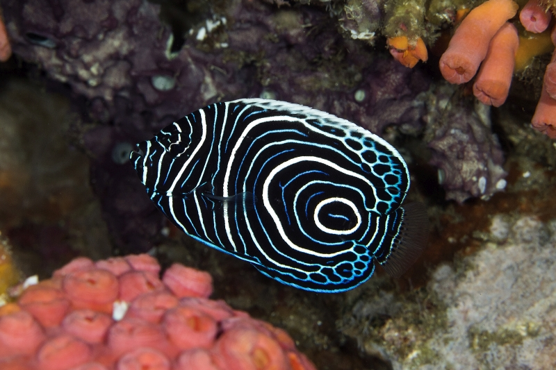 Kaiserfisch (Jungphase), Uber Scuba Komodo Dive Center, Indonesien, Allgemein