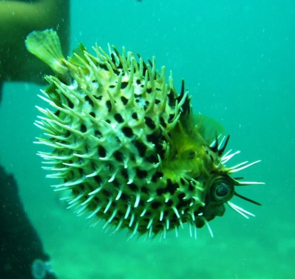 Playas del Coco, Playa del Coco,Costa Rica,igelfisch,kugelfisch,aufgeblasen,übergriff,Diodontidae