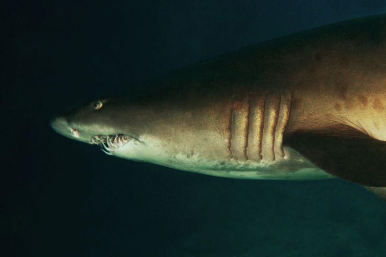 Sandtigerhai, Aliwal Shoal, Beluga Reisen, Göttingen, Deutschland, Niedersachsen