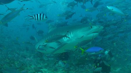 Ultimate Shark Encounter - Coral Coast,Fidschi