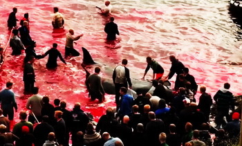 With blood on their hands, the fishermen in the midst of the brutally slaughtered pilot whales.