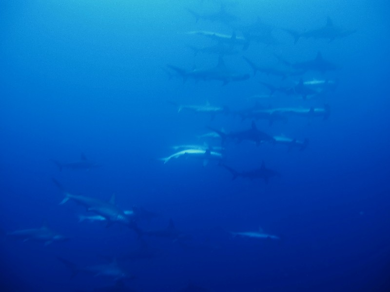 hammerheads and others, Atauro/Outer Reef,Osttimor