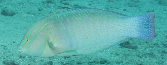 Papa Reef - Malindi, Papa Reef,Malindi,Kenia