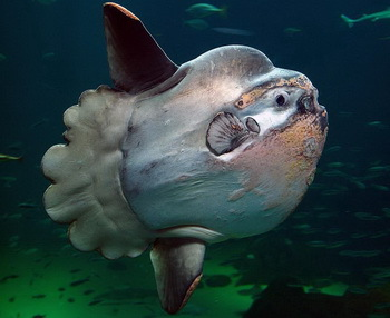 Sunfish: Endangered Species - © Per-Ola Norman