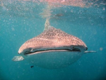 Tauchsafari -> Djibouti Divers (7 Brüder und Wahlhaie),Dschibuti