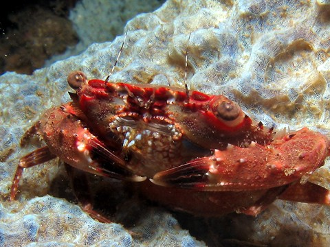 Dili/Scary Crab, Dili / Scary Crab,Osttimor