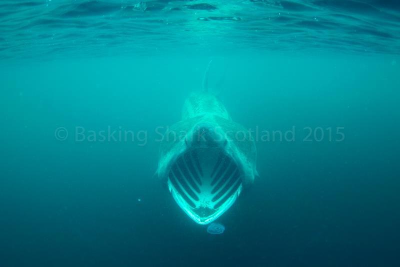 Riesenhai beim Fressen, basking shark scotland, Riesenhai, Basking Shark Scotland, Oban, Großbritannien, Schottland
