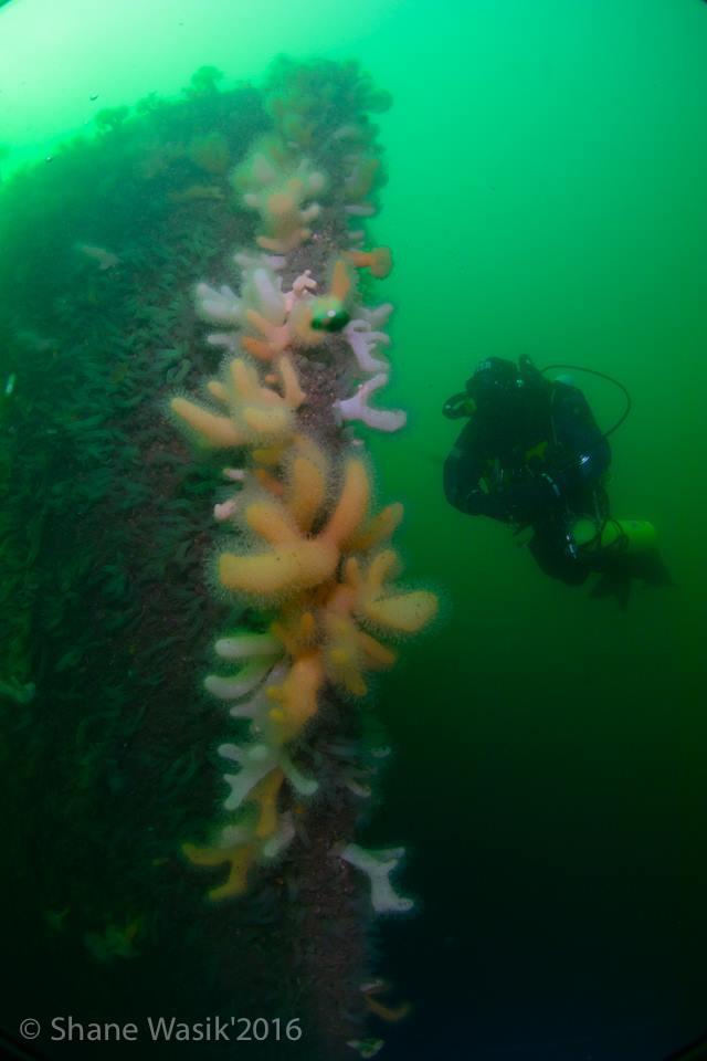 SS Breda Bug, Breda, Wracktauchen, Schottland, Basking Shark, Wrack SS Breda, Großbritannien