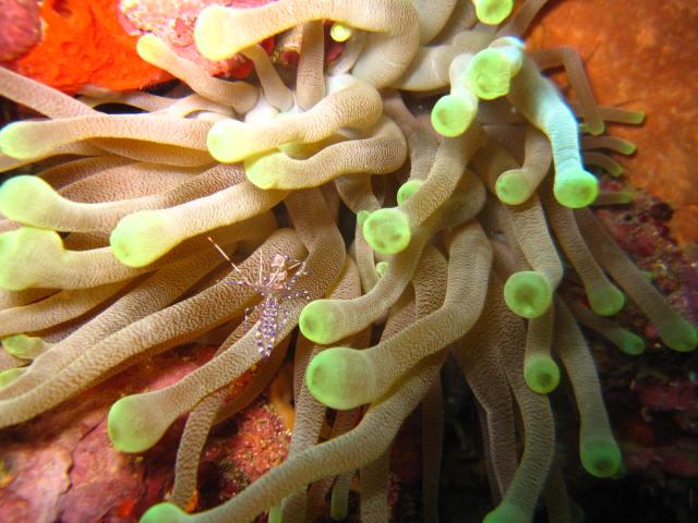 Froschlaichkoralle (Euphyllia paradivisa) mit Putzergarnele, Froschlaichkoralle, Euphyllia paradivisa, Anemone, Putzergarnele, Reef Oasis Viva Dominican, Bayahibe, Dominikanische Republik