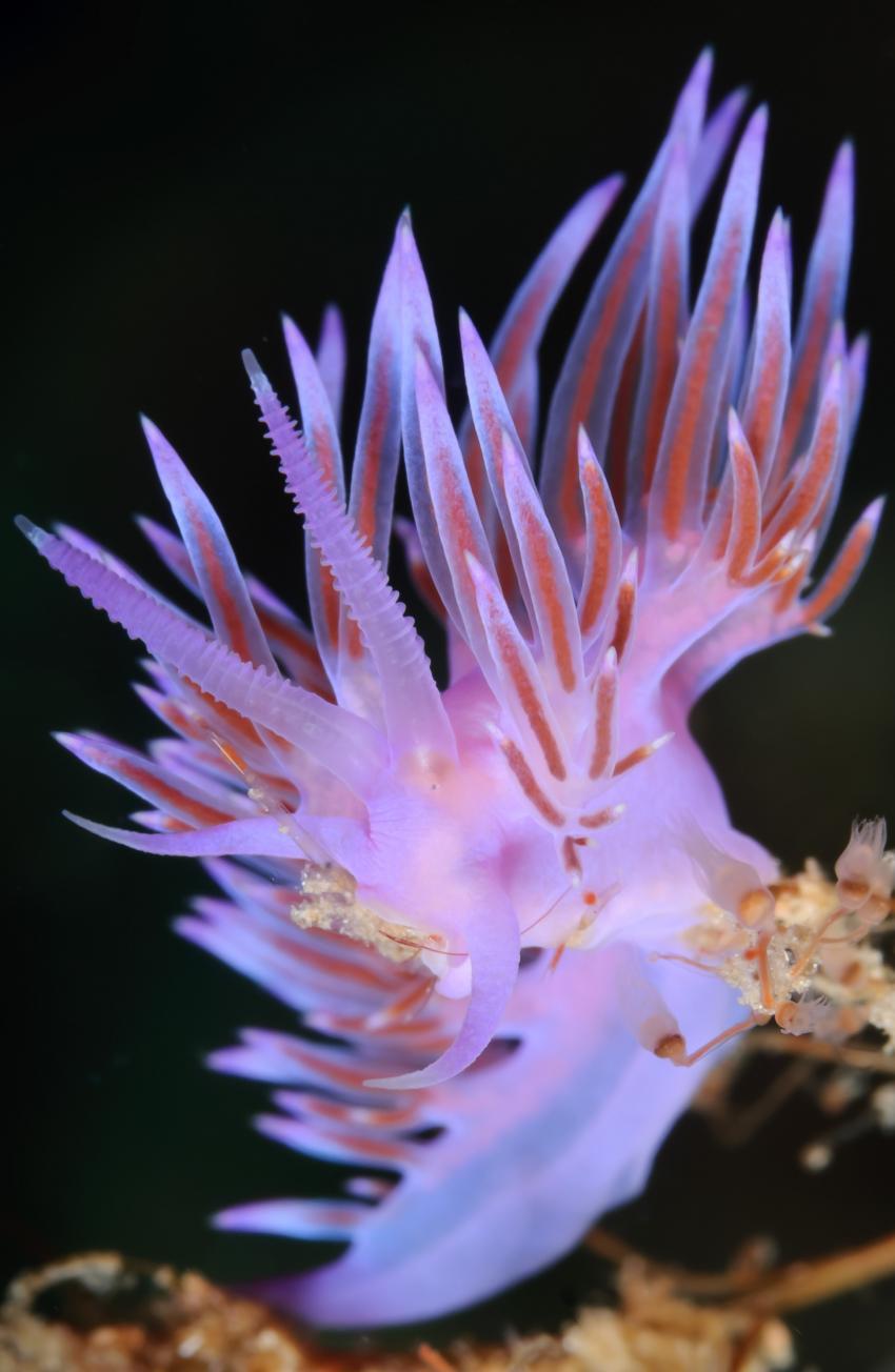 Korsika - MS Galiote, Korsika,Frankreich,Violette Fadenschnecke - Flabellina pedata