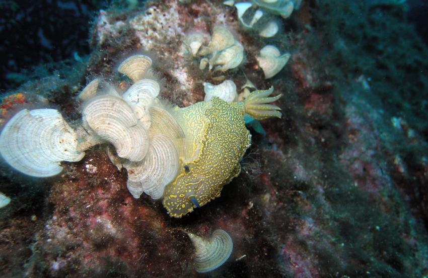 Aqualonde Plongée, La Londe les Maures,Frankreich,Schnecken,Gelb violette Sternschnecke