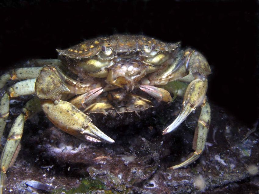 Ostsee/Eckernförder Bucht, Eckernförder Bucht,Schleswig-Holstein,Deutschland,Schleswig Holstein,Fortpflanzung,krabbe,schlamm,nacht
