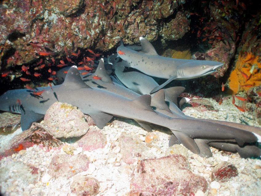 Galapagos, Galapagos Allgemein,Galapagos,Ecuador,Hai,Weißspitzen-Riffhai,schlafen