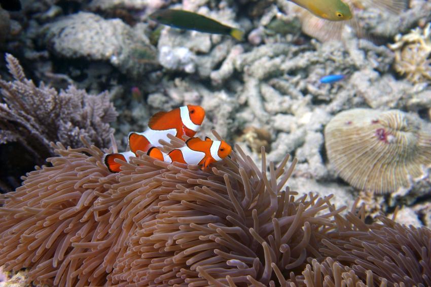 Pulau Satonda, Pulau Satonda,Indonesien,Anemone mit Clownfisch