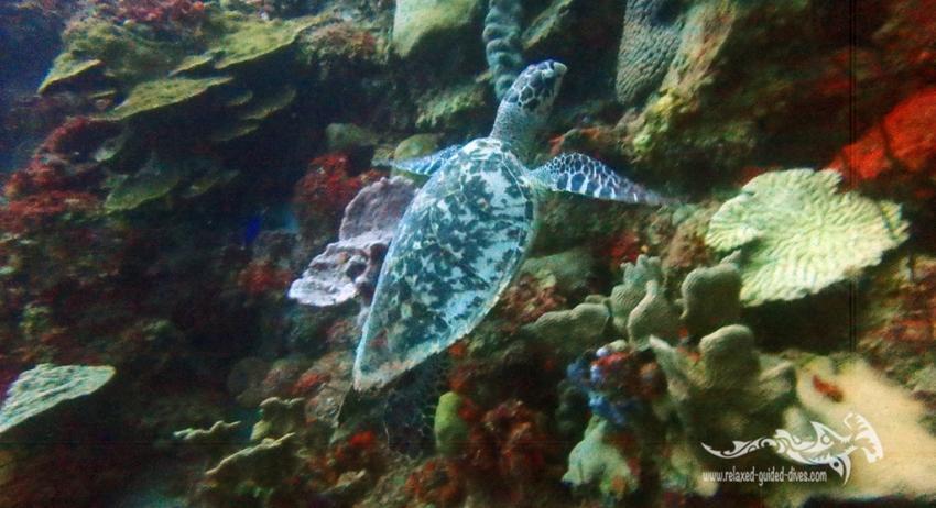 Echte Karettschildkröte (Hawksbill turtle), Relaxed Guided Dives, Niederländische Antillen, Curaçao